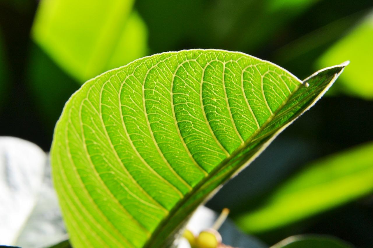 Pousse des cheveux : les feuilles de goyave sont-elles vraiment efficaces ?